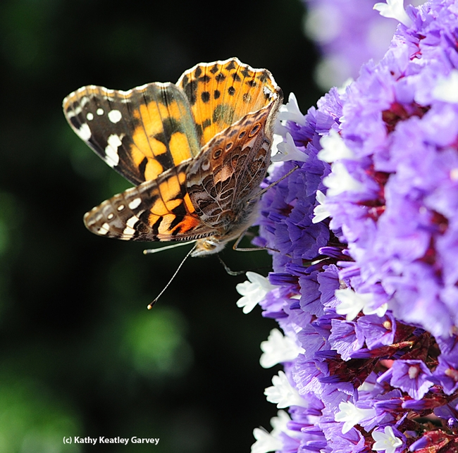 A painted lady, Vanessa cardui, nectaring on lantana in Vacaville, Calif.  (Photo by Kathy Keatley Garvey)
