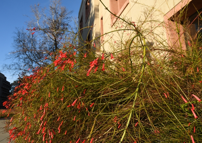 Firecracker plant, Russellia equisetiforis, thrives by the Sciences Lab Building on the UC Davis campus. (Photo by Kathy Keatley Garvey)