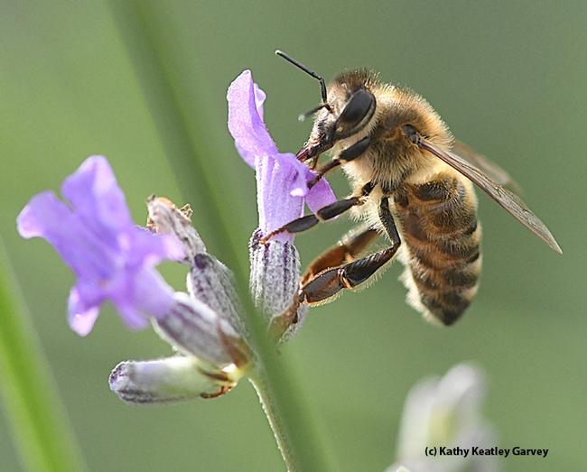 Ahh, nectar! See my tongue (proboscis)? (Photo by Kathy Keatley Garvey)