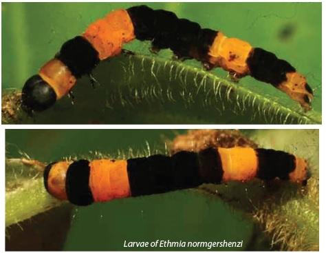 Larvae of Ethmia normgershenzi