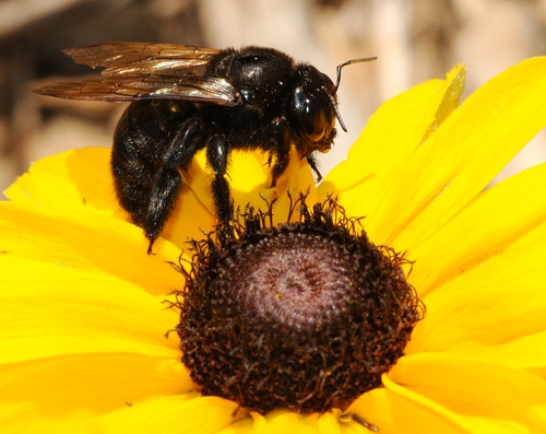 CARPENTER BEE, a female Xylocopa varipuncta, on a black-eyed Susan planted in the Haagen-Dazs Honey Bee Haven. (Photo by Kathy Keatley Garvey)