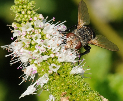 TACHINID FLY at work in the Haagen-Dazs Honey Bee Haven. Tachinids parasitize other insects, especially caterpillars, beetle grubs and others, notes UC Davis native pollinator specialist Robbin Thorp, emeritus professor of entomology. (Photo by Kathy Keatley Garvey)
