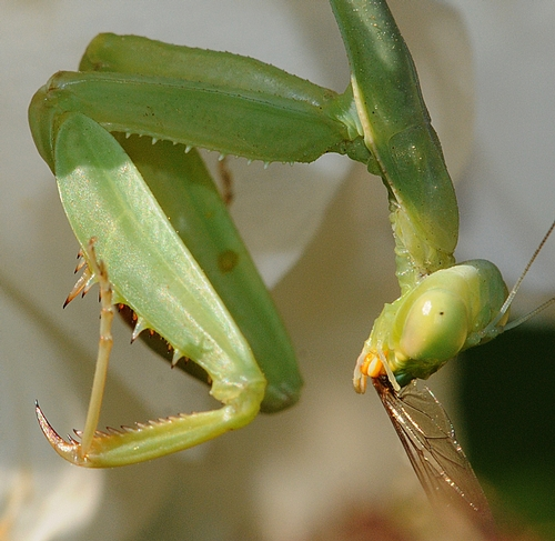 YOU'RE LIKELY to encounter a praying mantis in the Haagen-Dazs Honey Bee Haven. This praying mantis is polishing off a winged critter. (Photo by Kathy Keatley Garvey)