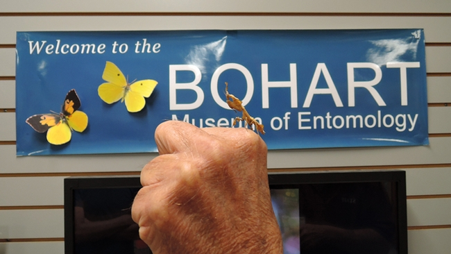 A praying mantis held next to the Bohart Museum of Entomology banner. (Photo by Kathy Keatley Garvey)