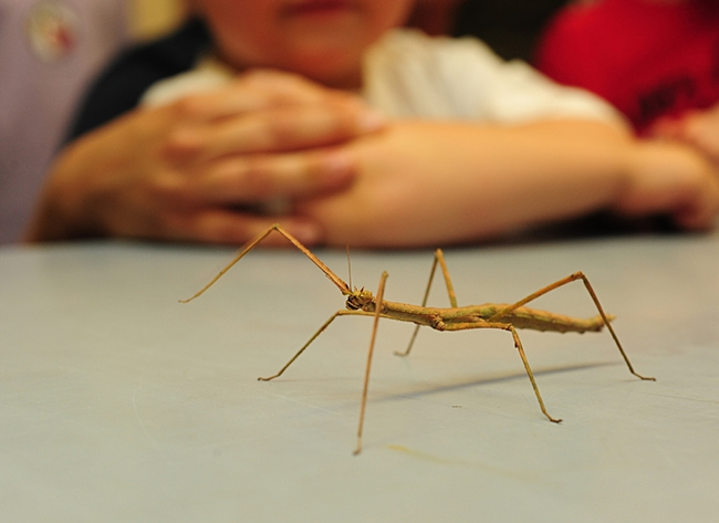 A stick insect, or walking stick, makes the rounds at the Bohart Museum of Entomology. (Photo by Kathy Keatley Garvey)
