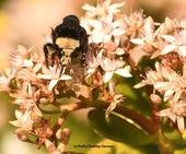 A yellow-faced bumble bee nectars on jade blossoms at the Benicia (Calif.) Capitol State Historic Park. (Photo by Kathy Keatley Garvey)