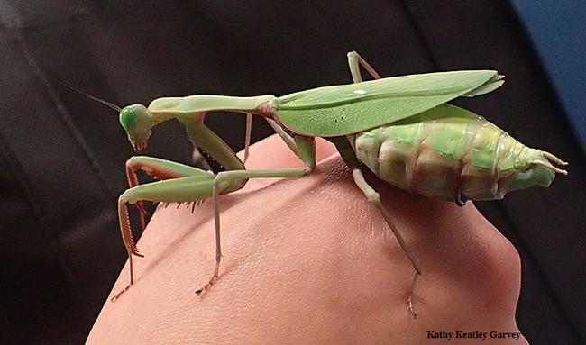 This praying mantis, nicknamed