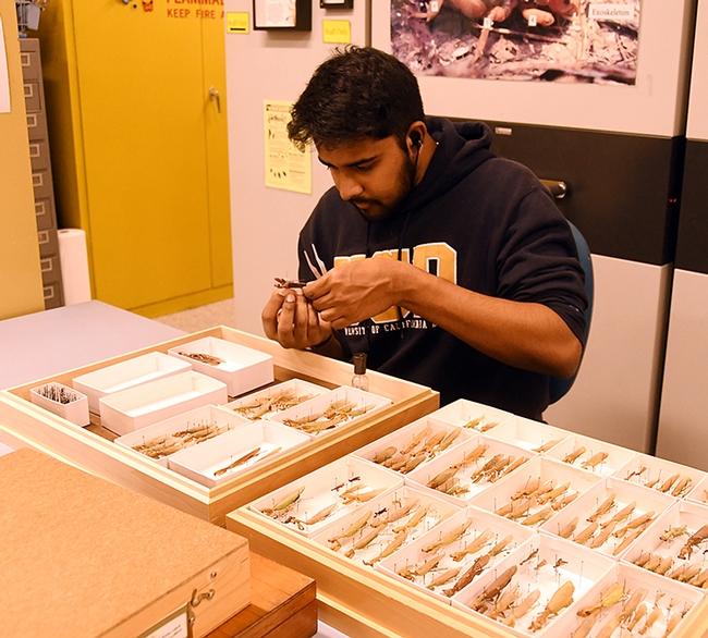 As a Bohart Museum associate, UC Davis entomology student Lohit Garikipati works on a tray of praying mantis specimens. (Photo by Kathy Keatley Garvey)