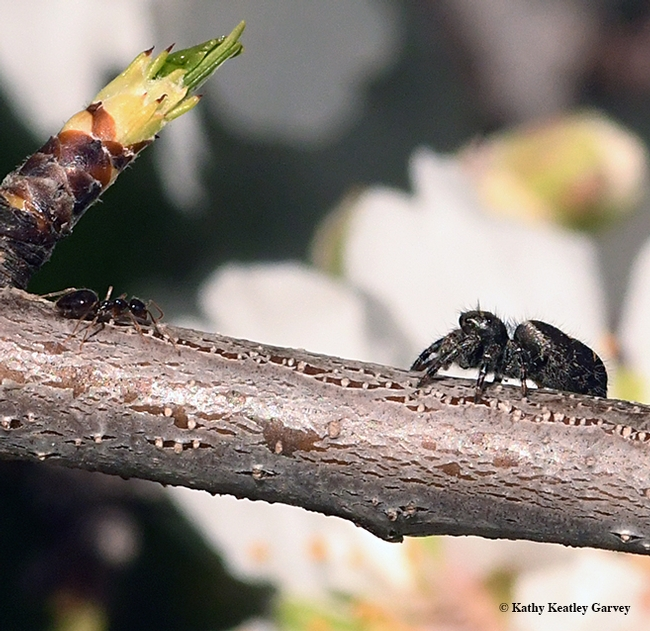 Eyes to eyes: A winter ant, Prenolepis imparis, encounters a jumping spider on an almond branch on a tree off Bee Biology Road, UC Davis. The jumping spider has four pairs of eyes while the ant has one pair. No arthropods were harmed in the making of this photo. (Photo by Kathy Keatley Garvey)
