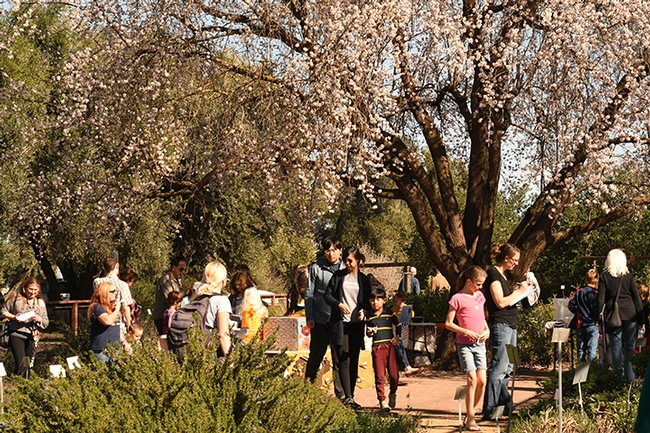 A blooming almond tree graces the Häagen-Dazs Honey Bee Haven as visitors check out the flowers and pollinators. (Photo by Kathy Keatley Garvey)
