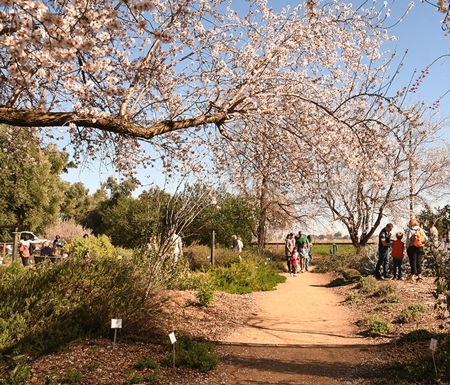 A scenic shot: Visitors walk along a path in the Häagen-Dazs Honey Bee Haven. An almond tree is in the foreground. (Photo by Kathy Keatley Garvey)
