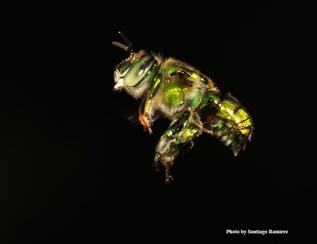 An orchid bee in flight. UC Davis researcher Santiago Ramirez will discuss his work at the fourth annual UC Davis Bee Sympoisum on March 3. (Photo by Santiago Ramirez)