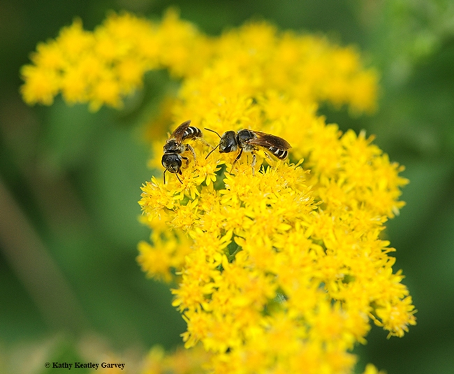 Female sweat bees, Halictus ligatus, on goldenrod at the UC Davis Arboretum and Public Garden. (Photo by Kathy Keatley Garvey)