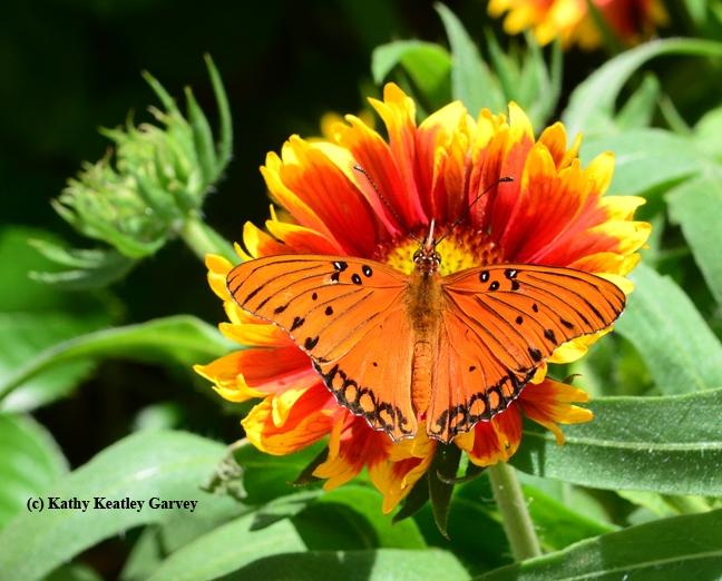 A Gulf Fritillary butterfly,  Agraulis vanillae, flutters on a Gaillardia. (Photo by Kathy Keatley Garvey)