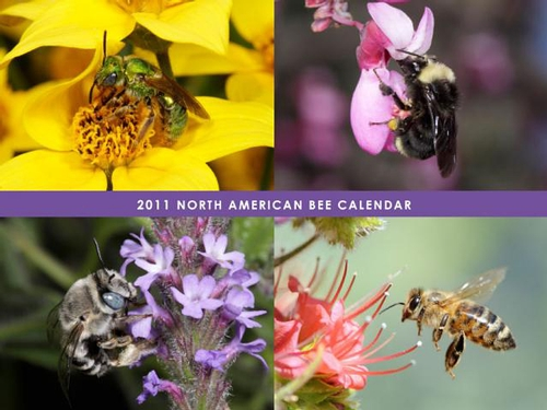 THIS is a preview of the North American Bee Calendar, created by native bee enthusiast Celeste Ets-Hokin of the San Francisco Bay Area. Proceeds benefit the Xerces Society of Invertebrate Conservation and the Great Sunflower Project.