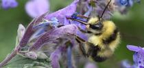 A bumble bee, Bombus melanopygus, nectaring on lavender in Vacaville, Calif. (Photo by Kathy Keatley Garvey) for Bug Squad Blog