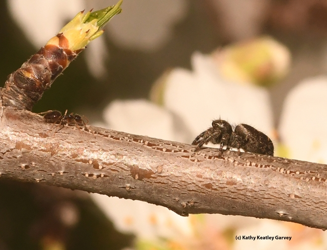 A winter ant, Prenolepis imparis, encounters a Phidippus,  jumping spider in an almond tree on Bee Biology Road, UC Davis. (Photo by Kathy Keatley Garvey)