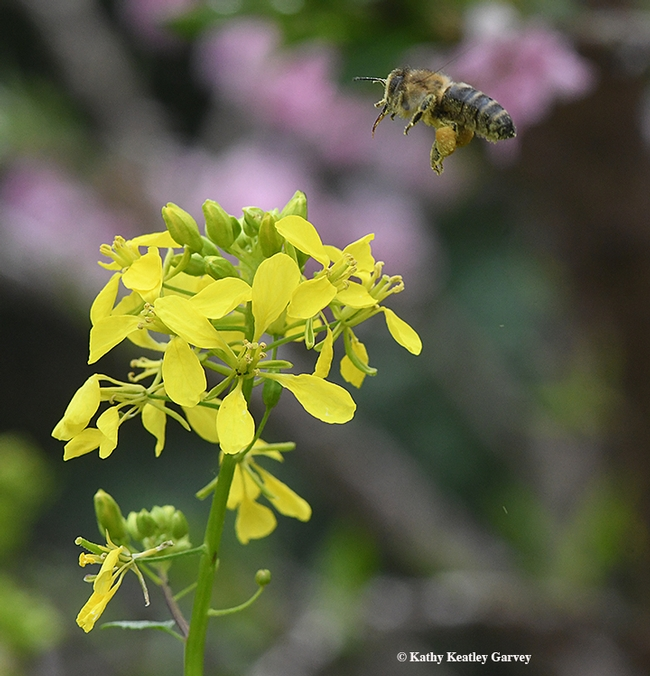 And she's off! A honey bee caught in flight as she leaves a mustard blossom. (Photo by Kathy Keatley Garvey)