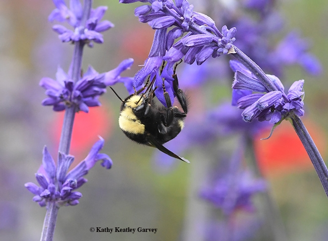 A yellow-faced bumble bee, Bombus vosnesenskii, on Salvia