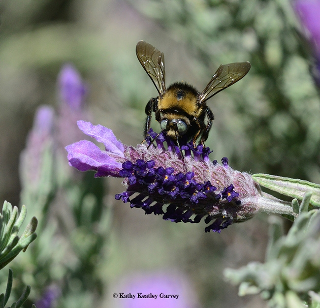 A male mountain carpenter bee, Xyclocopa tabaniformis orpifex, nectaring on Spanish lavender. (Photo by Kathy Keatley Garvey)