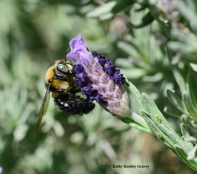 Side view of the male mountain carpenter bee, Xyclocopa tabaniformis orpifex, nectaring on Spanish lavender. (Photo by Kathy Keatley Garvey)