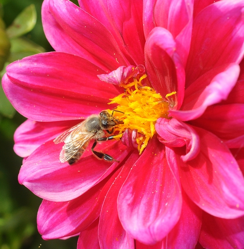 FORAGER--A honey bee forages on a zinnia, a colorful flower that's a member of the aster family. (Photo by Kathy Keatley Garvey)