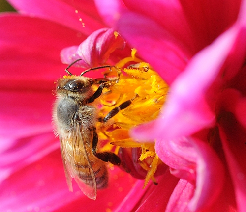 AT WORK--A honey bee nectaring a zinnia. (Photo by Kathy Keatley Garvey)