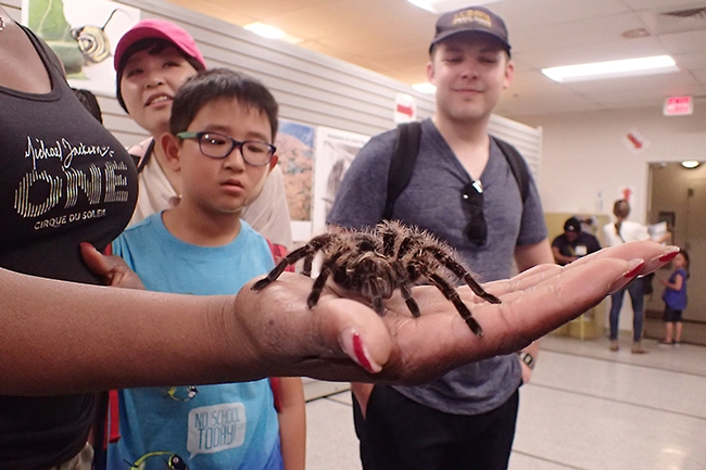 Quite a handful! Visitors at the Bohart Museum of Entomology's open house on Picnic Day watch Snuggles, a rose-haired tarantula. (Photo by Kathy Keatley Garvey)