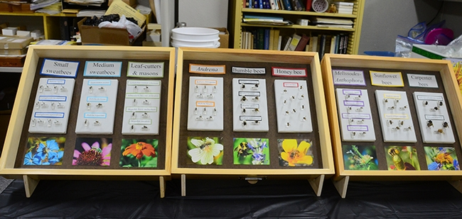 The bee display encompassed honey bees, bumble bees, sweat bees, sunflower bees and more. (Photo by Kathy Keatley Garvey)