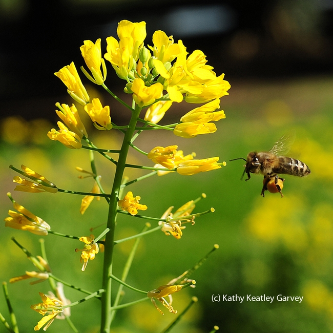 A honey bee in flight, as she adjusts her pollen load and cleans her tongue or proboscis. (Photo by Kathy Keatley Garvey) for Bug Squad Blog