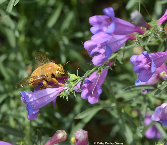 A male valley carpenter bee, Xylocopa varipuncta, nectaring on a California native, foothill penstomen, Penstemon heterophyllus. (Photo by Kathy Keatley Garvey)