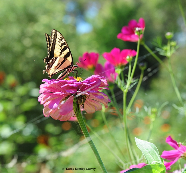 The Western tiger swallowtail, Papilio rutulus, is a frequent visitor to the Haagen-Dazs Honey Bee Haven. Note the spider lurking beneath the zinnia blossom. (Photo by Kathy Keatley Garvey)