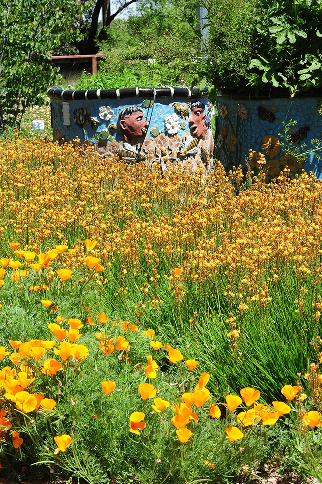 California golden poppies and bulbine brighten the Haagen-Dazs Honey Bee Haven, a half-acre bee garden on Bee Biology Road, west of the central UC Davis campus. (Photo by Kathy Keatley Garvey)