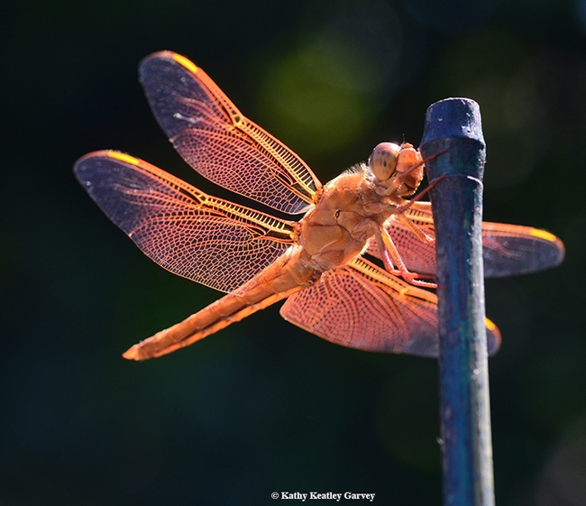 A brisk breeze stirs the wings of a flameskimmer dragonfly. (Photo by Kathy Keatley Garvey)