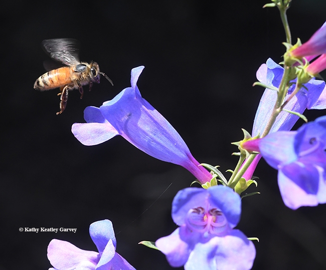 A honey bee approaches a Penstemon  Margarita BOP. BOP? That means