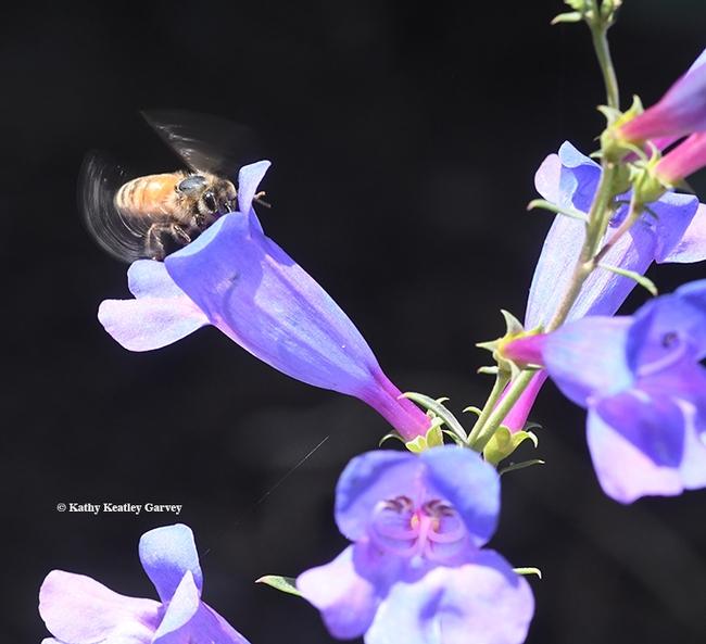 The honey bee enters the long tube of the Penstemon. (Photo by Kathy Keatley Garvey)
