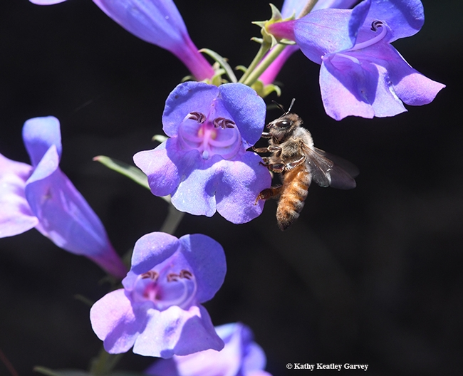 A honey bee foraging on the Penstemon Margarita BOP. (Photo by Kathy Keatley Garvey)