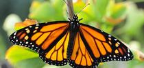 A male monarch butterfly, Danaus plexippus. (Photo by Kathy Keatley Garvey) for Bug Squad Blog