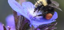 A yellow-faced bumble bee, Bombus vosnesenskii, foraging on Anchusa azurea at Annie's Annuals and Perennials, Richmond. (Photo by Kathy Keatley Garvey) for Bug Squad Blog