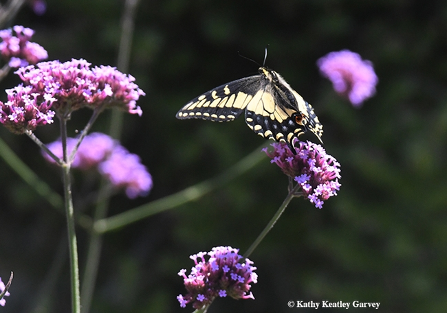 Butterfly ballet! Bees startled this Anise Swallowtail that was nectaring on Verbena. (Photo by Kathy Keatley Garvey)