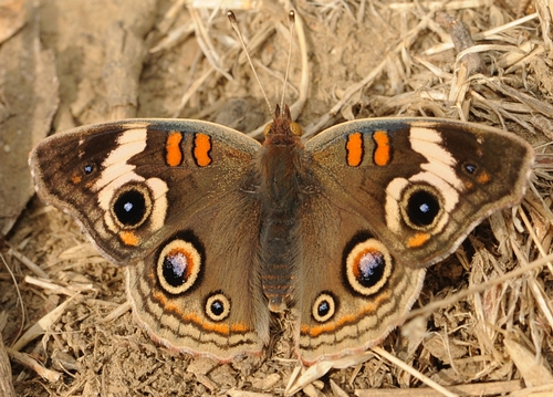 EYESPOTS on the wings of a buckeye butterfly. (Photo by Kathy Keatley Garvey)