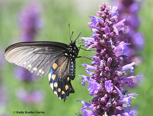 A pipevine swallowtail, Battus philenor, nectars on on Nepeta tuberosa. (Photo by Kathy Keatley Garvey)
