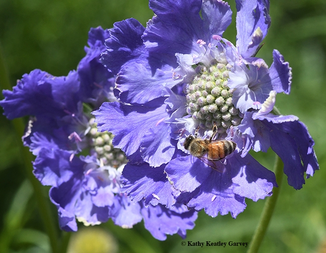 This honey bee can't get enough of Scabiosa