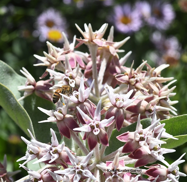 Milkweed is not only the host plant of monarch butterflies, but honey bees like it, too. This is  the showy milkweed, Asclepias speciosa. (Photo by Kathy Keatley Garvey)