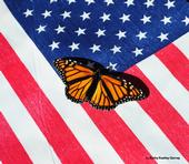 A majestic monarch butterfly, an icon, on an American flag. (Photo by Kathy Keatley Garvey)