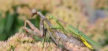 A mating pair of Stagmomantis limbata in Vacaville, Calif. (Photo by Kathy Keatley Garvey) for Bug Squad Blog