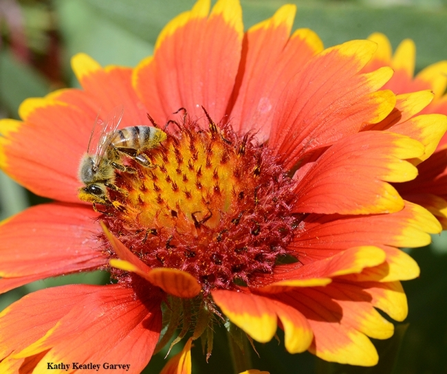 A honey bee foraging on a blanketflower, Gaillardia, in the Häagen-Dazs Honey Bee Haven. (Photo by Kathy Keatley Garvey)