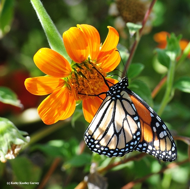 The male monarch, No. 6093, sips nectar from a Mexican sunflower, Tithonia on Sept. 5, 2016. It traveled 457 kilometers from Ashland to Vacaville. (Photo by Kathy Keatley Garvey)