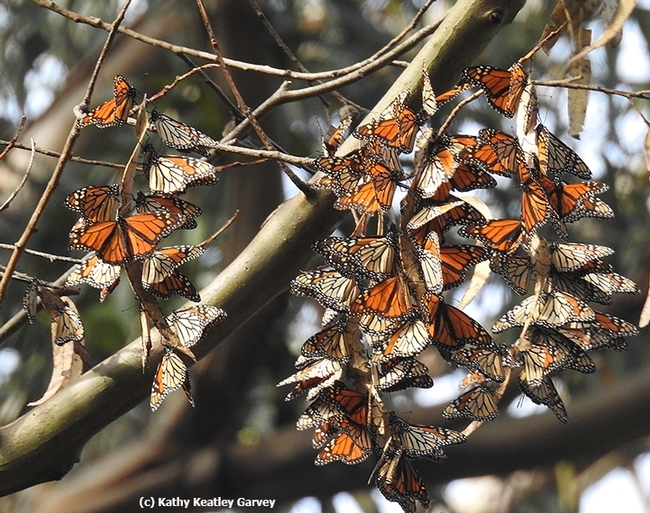 Monarchs overwintering in the Natural Bridges State Park, Santa Cruz, in 2016. (Photo by Kathy Keatley Garvey)