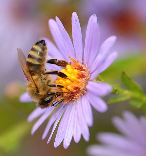 UPSIDE DOWN, a honey bee sips nectar from a purple aster. (Photo by Kathy Keatley Garvey)